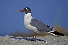 220px laughing gull in mating plumage