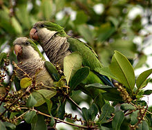 220px myiopsitta monachus florida two in tree 8