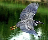 220px nycticorax violaceus flying 8.jpg