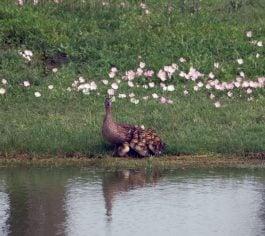 27 mallard hen ducklings 265x236 1