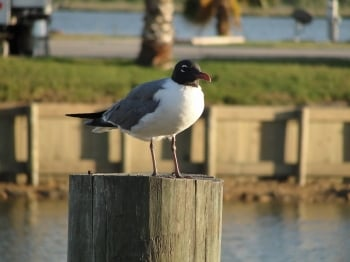 laughing gull1 rvresortmarina.com