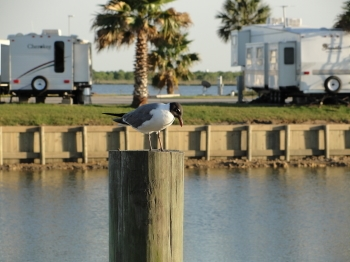 laughing gull2 rvresortmarina.com