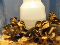 mallard ducklings 4 days old